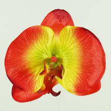 Storczyk - główka (W018)