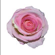 Róża-główka welwet (W368)