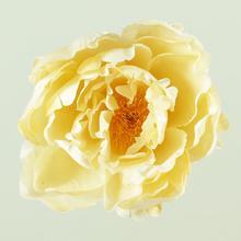 Peonia - główka (W049)