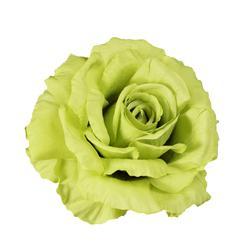 Róża rozwinieta - główka (W703)